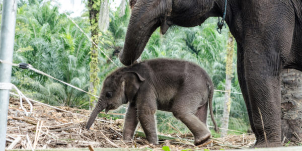lenisecalleja-fotolia_96253699_xlelefanten-indonesien-sumatra-welttierschutzgesellschaft