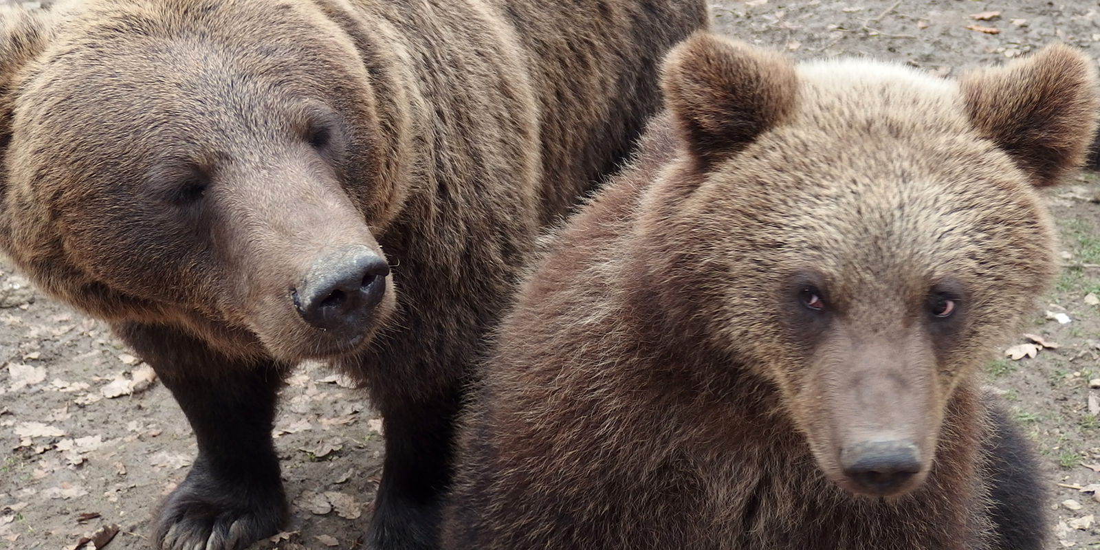 numerous brown bears in romania have been kept illegally and under miserable conditions