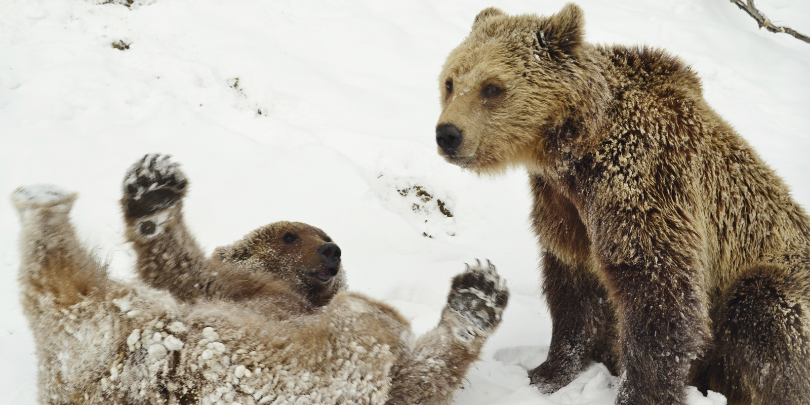 Bear sanctuary in Romania: brown bears enjoy playing in the snow