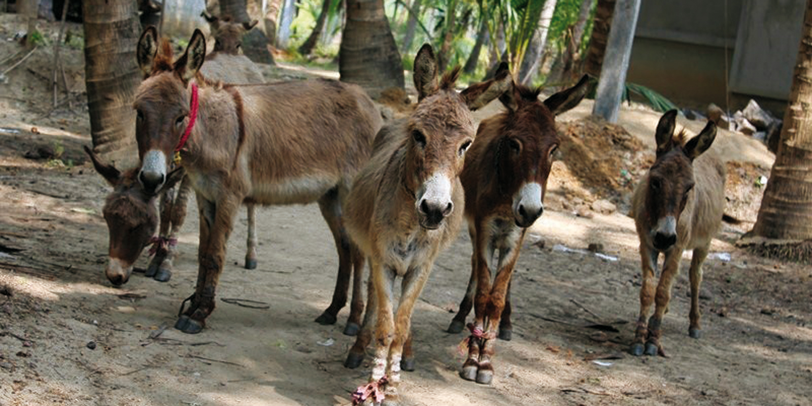 Since mobile clinics were introduced the health status of the donkeys has improved