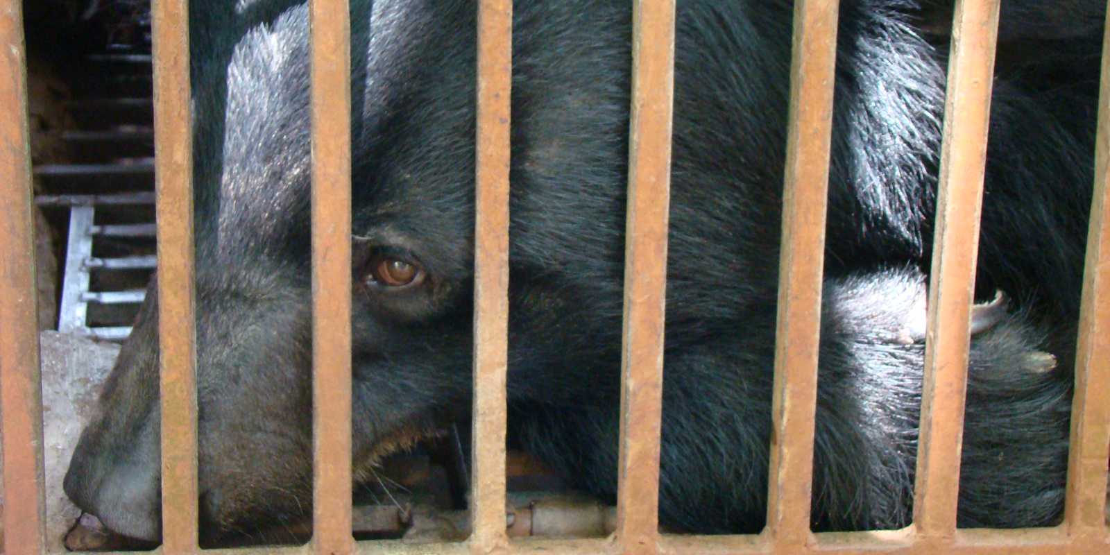 a bear is kept in a narrow cage on a bille farm