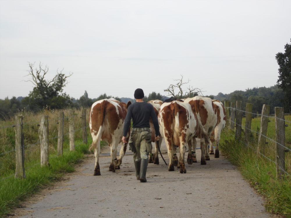 Kuhherde auf dem Weg zur Weide