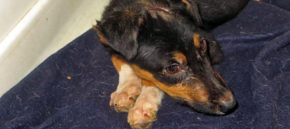 Tierärzte Weltweit Malawi Hund