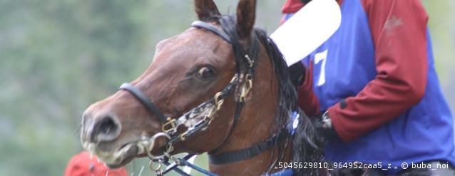 Distanzreiten Pferd