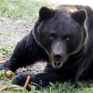 welttierschutzgesellschaft-rumänien-braunbären-braunbär-tierschutz-325x325