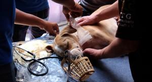 tierärzte-weltweit-in-sri-lanka-hund-in-behandlung-650x400