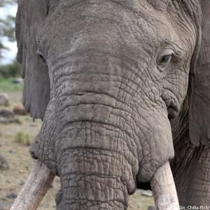 wilderei-elefant-stoßzähne-325x325