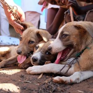 hunde-malawi-afrika-welpen