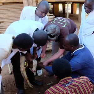 tierärzte-weltweit-malawi-behandlung