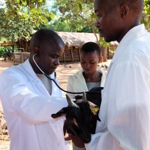 tierärzte-weltweit-malawi-untersuchung-behandlung-ziege