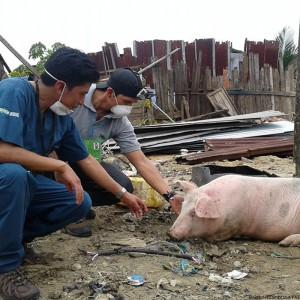 ecuador-erdbeben-tierschutz-schwein-nutztier