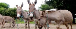 tansania-tierärzte-weltweit-esel-650x250