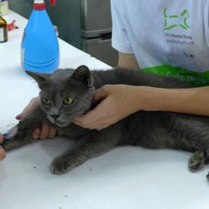 tierschutz-thailand-katze-grau