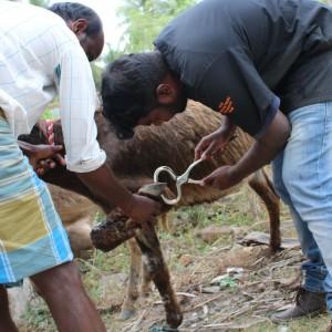 tierschutz-indien-esel-welttierschutzgesellschaft-2