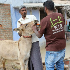 tierschutz-indien-esel-welttierschutzgesellschaft