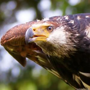 wilderei-deutschland-greifvogel-wildtiere-deutschland-vogel-325x325