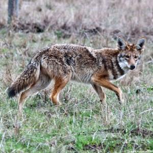 wilderei-deutschland-wolf-wolfsjagd-jagen-wölfe-wildtierhandel-325x325