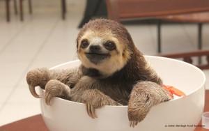 faultier-sloth-suriname-tierschutz