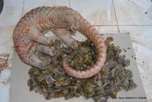 pangolin-schuppentier-wildtier-handel-illegal-tierschutz