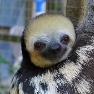 faultier-sloth-surinam-laechelnd-325x325