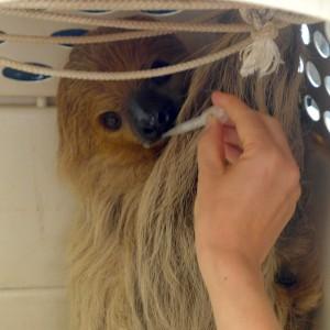 faultier-gerettet-surinam-sloth-rescue-325x325