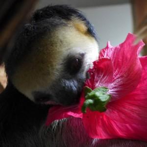 faultier-riecht-an-hibiskus-surinam-wildtierschutz-suedamerika-welttierschutzgesellschaft-325x325