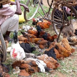 tiermarkt-uganda-tierschutz-huehner-haehne-tieraerzte-afrika-325x325