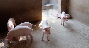 2_vets-united-tieraerzte-weltweit-schweine-pigs-1