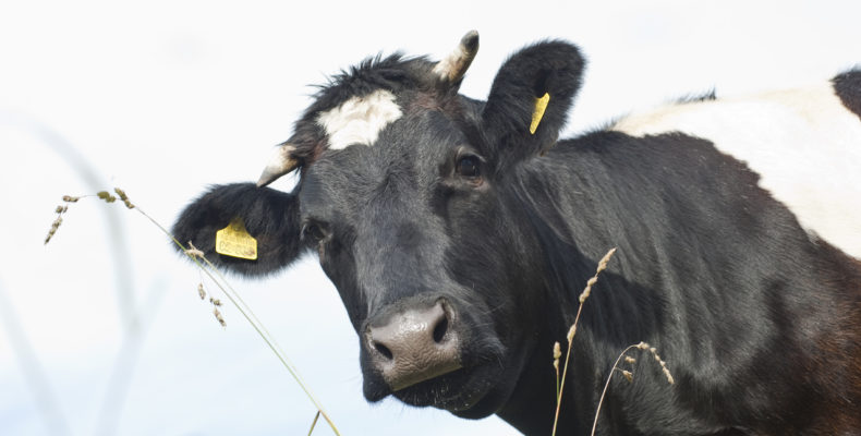 Behornte Kuh schaut in Kamera