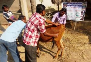 indien-nutztiere-mobile-klinik-tierschutz-welttierschutzgesellschaft