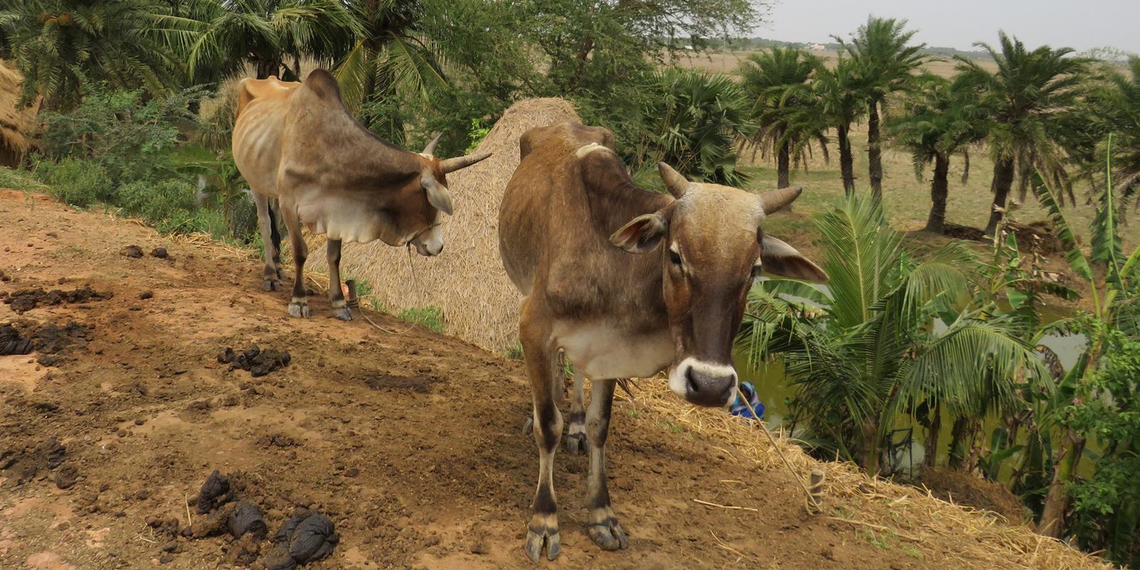 Nutztiere in Indien: Oft fehlt den Haltern das Wissen, um ihre Tiere tiergerecht zu halten.