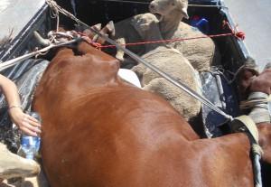 nutztiere-transport-tierschutz-afrika-welttierschutzgesellschaft
