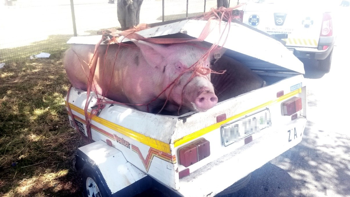 Tierhaltung in Südafrika: Viele Tiere sterben während des Transports. In den Workshops wird auch auf diesen Aspekt eingegangen.