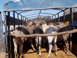 tansania-tiermarkt-nutztier-rinder-tierschutz-verkleinert