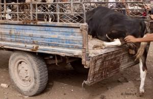 tansania-tiermarkt-nutztier-tierschutz-transport-verkleinert