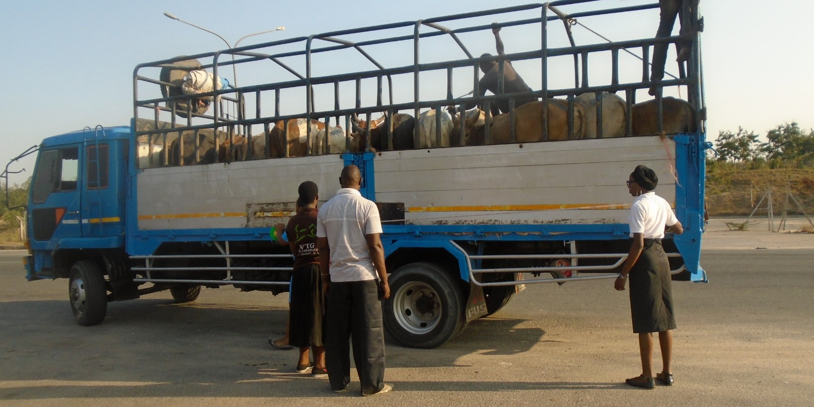 Tiermärkte in Tansania: Das Team inspiziert einen mit Rindern beladenen LKW, der zu einem der Tiermärkte unterwegs ist