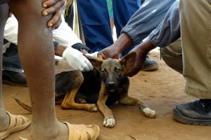 tieraerzte-weltweit-tierschutz-malawi-hund