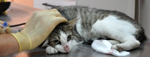 streunerkatzen-bulgarien-welttierschutzgesellschaft-katze-in-sicherheit-tierarzt-versorgung