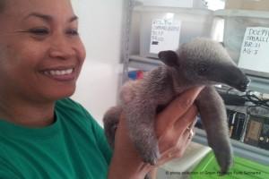 surinam-tierschutz-baby-ameisenbaer-rettung-welttierschutzgesellschaft