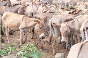 tansania-tieraerzte-weltweit-ausbildung-tiermarkt-esel