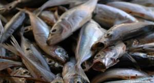 fische-fischfang-tierqual-tiere-leiden-650x400