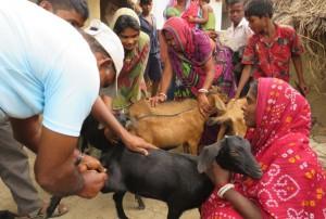 tierschutz-indien-ziege-mobile-klinik-welttierschutzgesellschaft