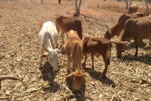 soforthilfe-fuer-tiere-rinder-duerre-tansania-welttierschutzgesellschaft-2