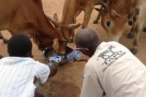 soforthilfe-fuer-tiere-rinder-duerre-tansania-welttierschutzgesellschaft