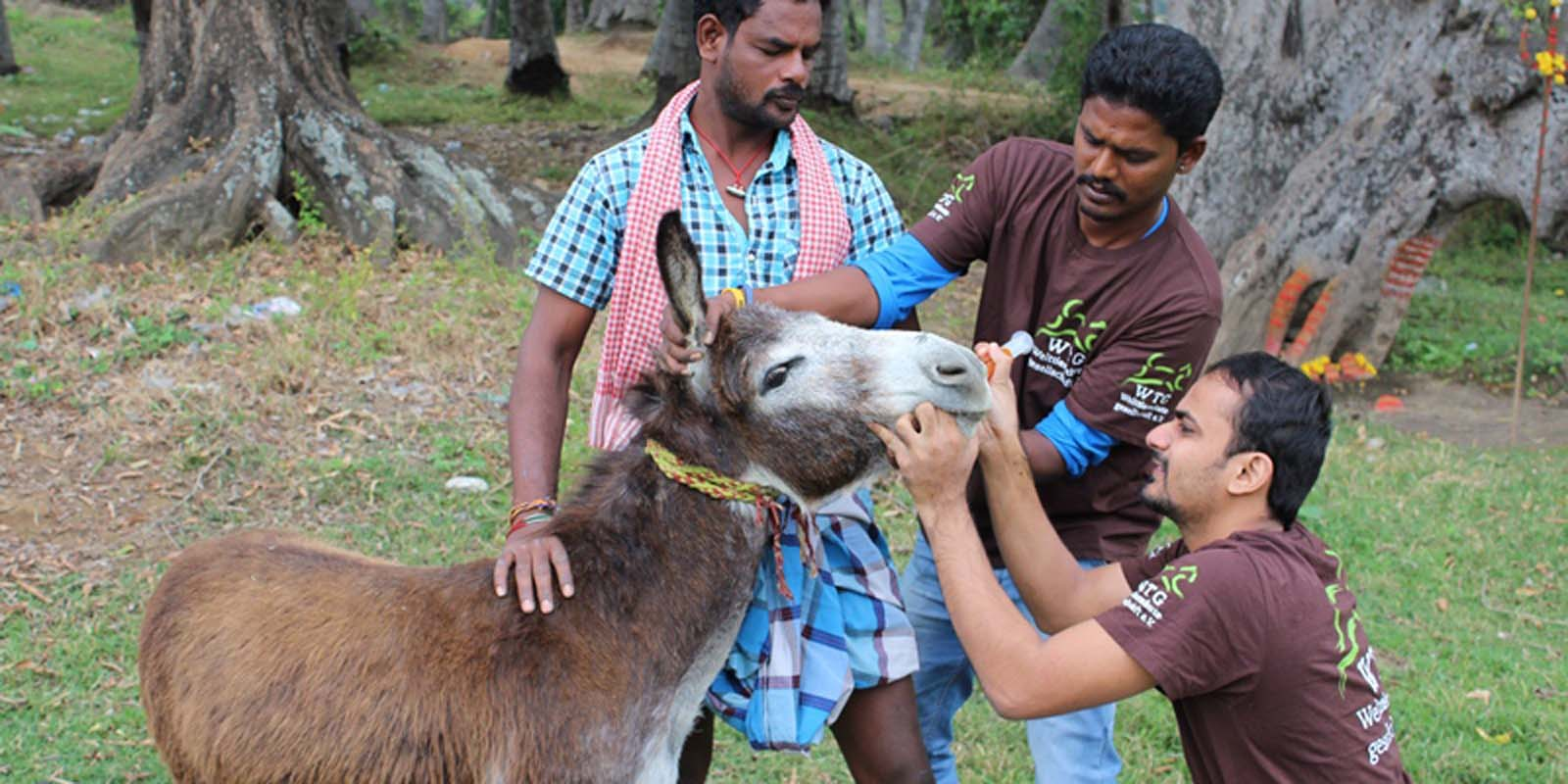Vets treating a donkey during a mobile clinic