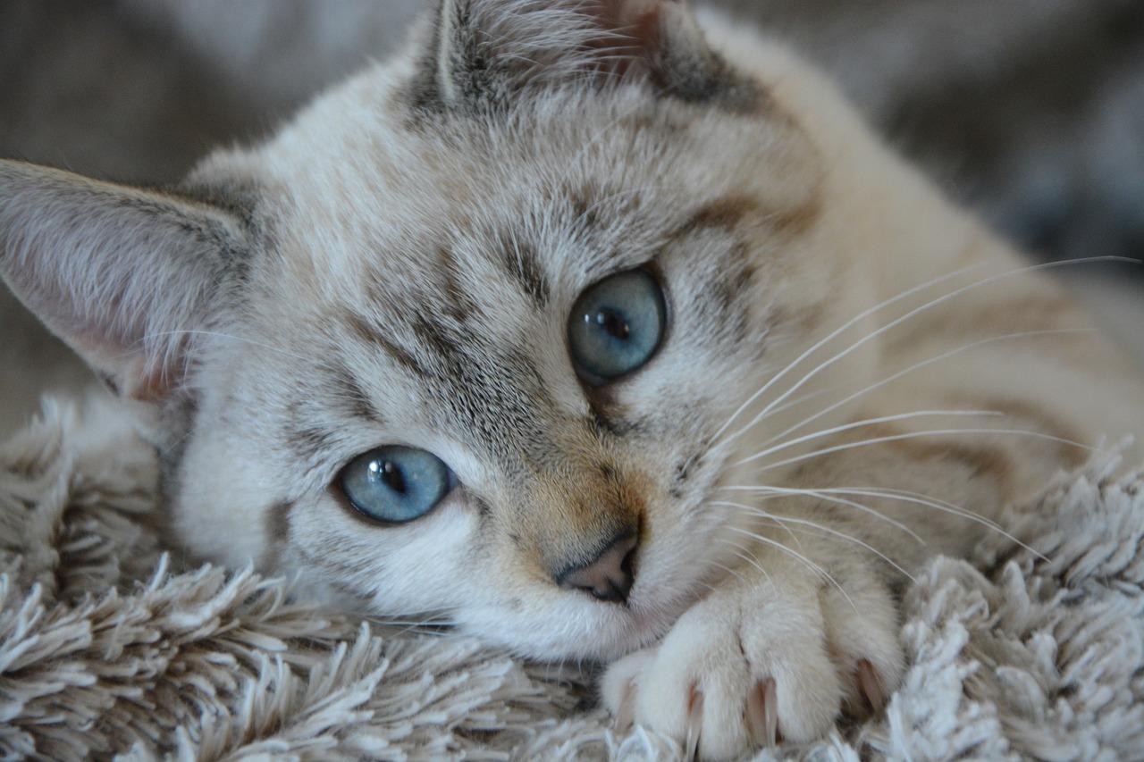 Katze liegt auf flauschigem Teppich