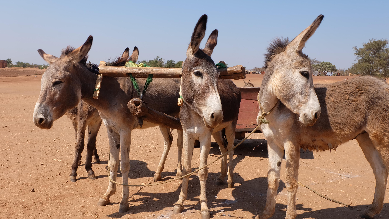 Esel helfen beim Transport in Malawi