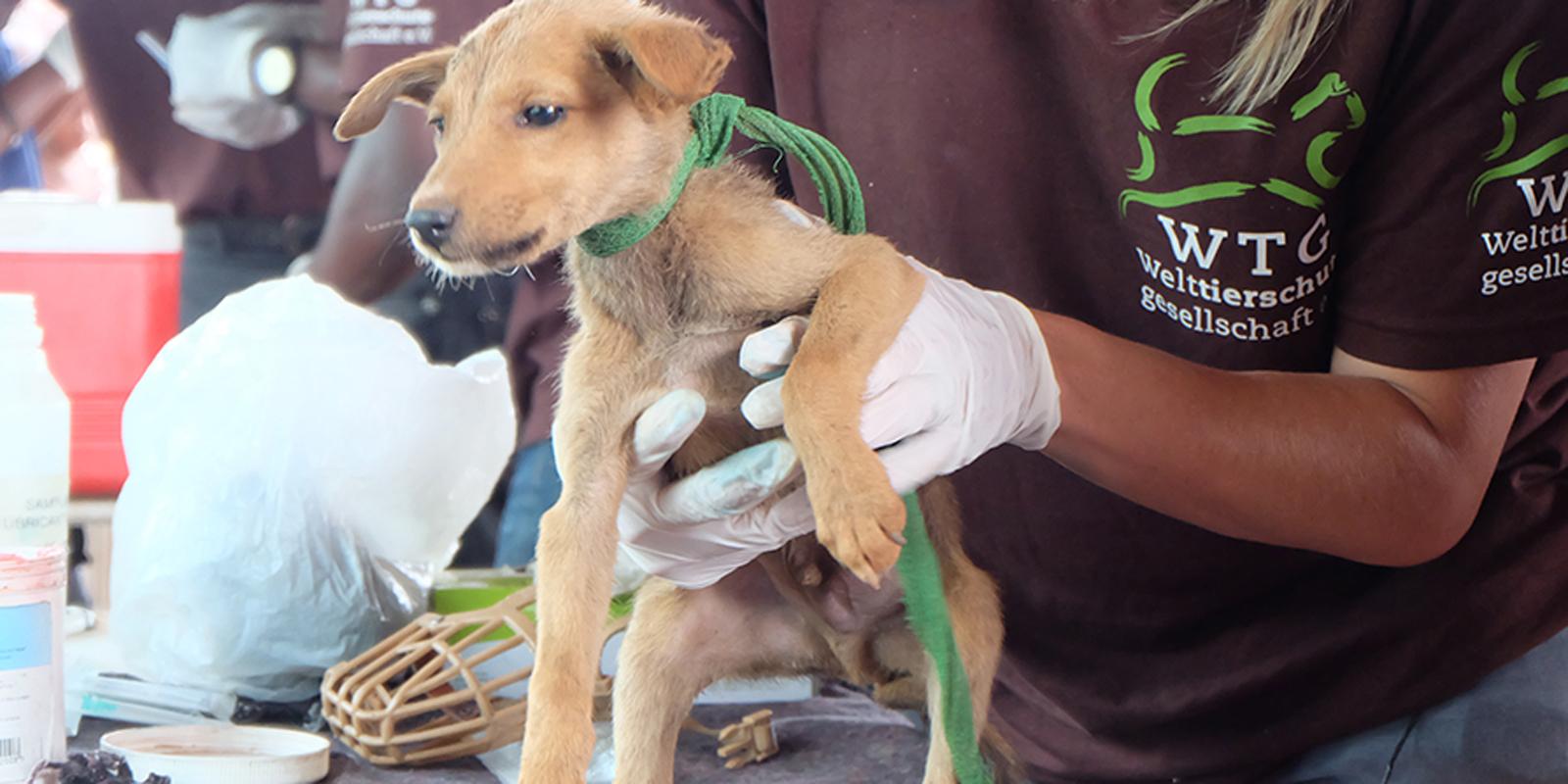 Dieser Hund wurde geimpft. Es ist nun vor der Tollwut sicher.