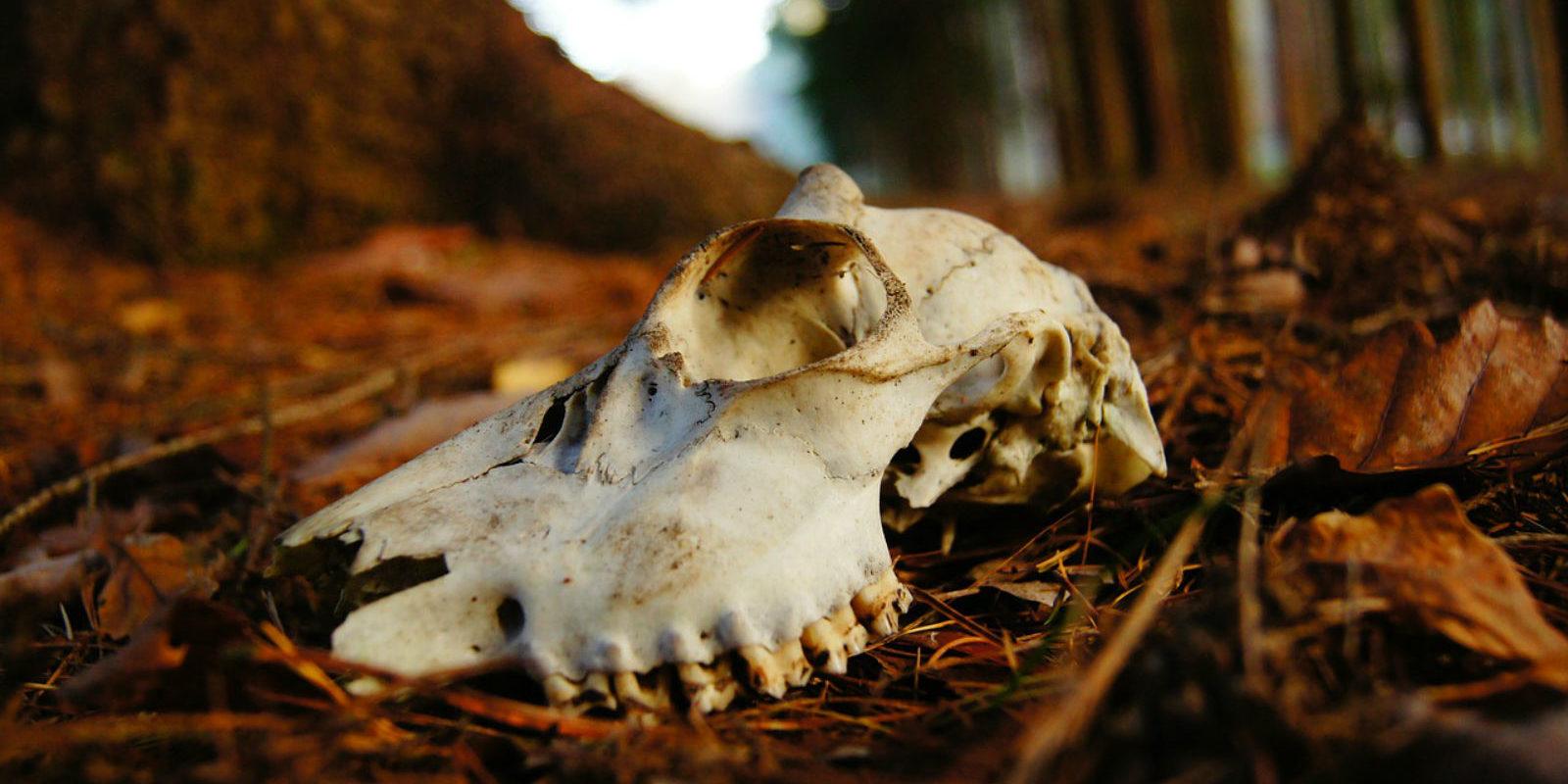 Der Schädel eines totel Rehs. Es könnte der Wilderei zum Opfer gefallen sein.