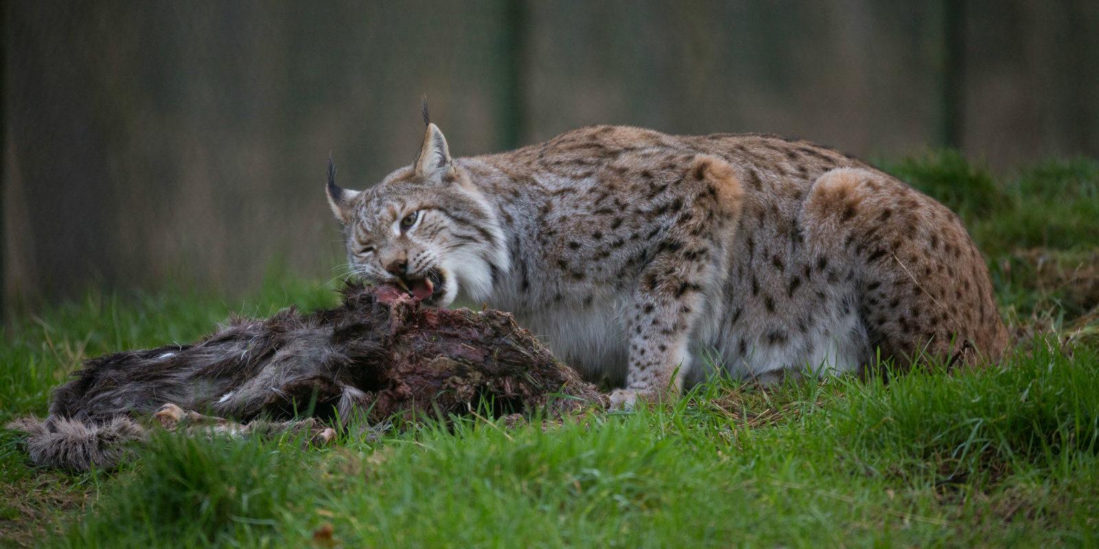Der Wolf ist in Teilen Deutschlands wieder heimisch geworden. Auch er ist Opfer von Wilderei.